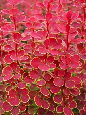 "Berberis Thunbergii ""Admiration"""