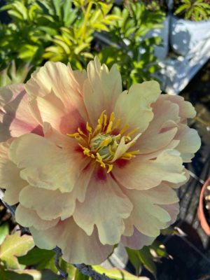 "Paeonia lactiflora ""Yellow Crown"""